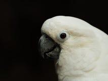 Biały parasolowy kakadu Obrazy Stock