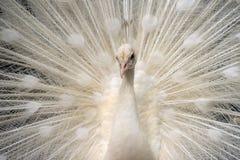 Biały pawi przedstawienie swój ogon zdjęcia stock