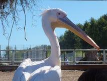 Biały pelikan Zdjęcia Stock