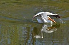 BIAŁY pelikan 2014 3 Zdjęcia Stock