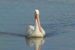 Biały pelikan Obrazy Stock