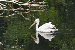 Biały pelikan Fotografia Stock