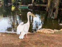 Biały pelikan Fotografia Royalty Free