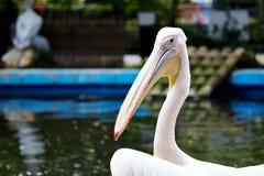 Biały pelikan Zdjęcie Royalty Free