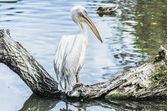 biały pelikan na drzewie w wodzie Zdjęcia Stock