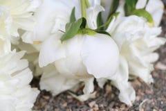 Biały peonia zdjęcia stock