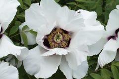 Biały peonia hybryd Zdjęcie Royalty Free
