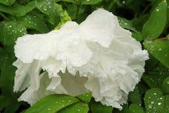 Biały peonia kwiat Obrazy Stock