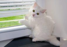 Biały perskiego kota zerkanie Obrazy Royalty Free