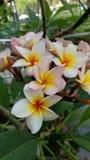 Biały Phumeria zdjęcie stock