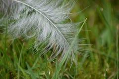 Biały piórko na zielonej trawie Obrazy Stock