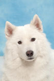 biały pies Fotografia Stock