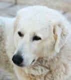 biały pies Zdjęcie Royalty Free