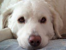 biały pies Obrazy Stock