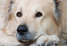 biały pies owce Zdjęcie Royalty Free