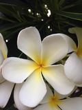Biały plumeria Obraz Royalty Free