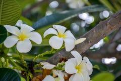 Biały plumeria Fotografia Royalty Free