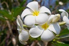 Biały plumeria kwiat Obraz Royalty Free