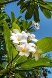 Biały plumeria kwiat Obrazy Royalty Free