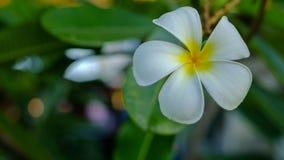 Biały Plumeria kwiat Fotografia Royalty Free