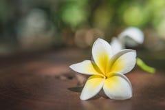 Biały plumeria kwiat na stole Zdjęcie Stock
