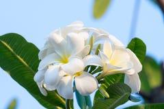 Biały Plumeria kwitnie na drzewie Zdjęcia Royalty Free