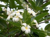 Biały plumeria kwitnie na plumeria drzewie, frangipani kwiaty w parku Obrazy Stock