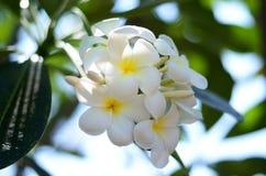 Biały Plumeria Kwitnie przy Tajlandia zdjęcie royalty free