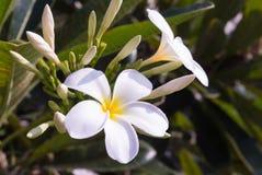 Biały plumeria na drzewie Zdjęcia Stock