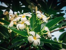 Biały plumeria na plumeria drzewie, biały frangipani Zdjęcia Royalty Free