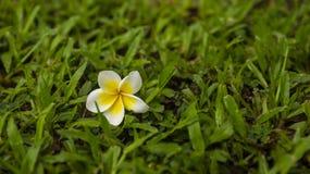 Biały Plumeria na trawie Obraz Royalty Free