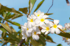 Biały Plumeria Pudica Fotografia Royalty Free