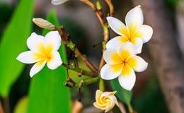 Biały Plumeria spp frangipani kwiaty, Pagodowy drzewo Zdjęcia Stock
