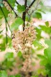 Biały porzeczkowy krzak z jagodami Zdjęcia Stock