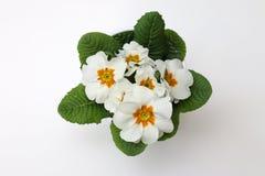 Biały Primula Obraz Stock