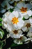 Biały primula w ogródzie Obrazy Royalty Free