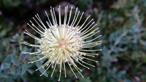 biały protea raindrops Fotografia Stock