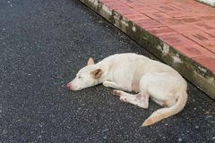 Biały psi sen samotnie Zdjęcia Royalty Free