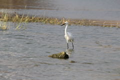 Biały Ptak Fotografia Royalty Free