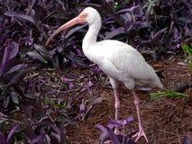 biały ptak ibisa fotografia stock