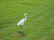 Biały ptak na zielonej trawie Zdjęcia Royalty Free