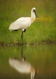 Biały ptak, rzadka Eurazjatycka Spoonbill pozycja na jeden nodze obrazy royalty free