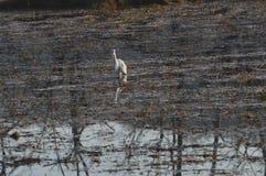 Biały ptak w bagiennej wodzie Fotografia Stock