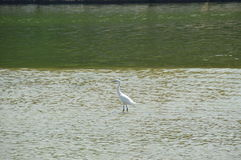Biały ptak w rzece Zdjęcia Stock