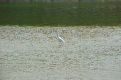 Biały ptak w rzece Zdjęcia Royalty Free