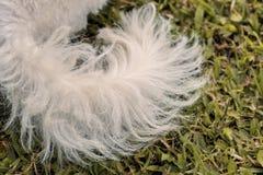 Biały pudla psa ogon Obraz Stock