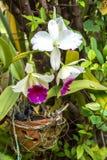Biały - purpurowego cattleya storczykowy kwiat Obrazy Royalty Free