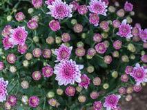 Biały Purpurowy chryzantema kwiatu kwitnienie Zdjęcie Stock