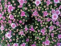 Biały Purpurowy chryzantema kwiatu kwitnienie Obrazy Royalty Free