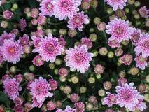 Biały Purpurowy chryzantema kwiatu kwitnienie Obraz Stock